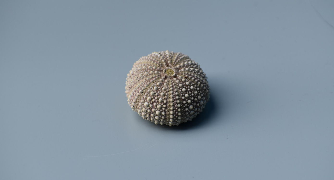 A sea urchin shell on a blue background